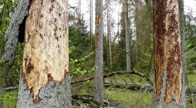 Białowieża-Wald. Es blutet das Försterherz