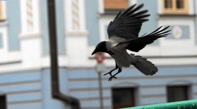 Krähen erobern Polen